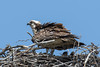 Osprey with chick (Pandion haliaetus) by RonW's Nature Photography