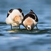 American Avocets during mating ritual by Greg Gard