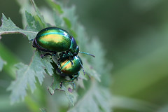 Tansy Beetle-6584