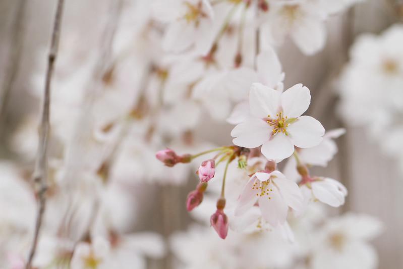 Sakura in Kyoto 4