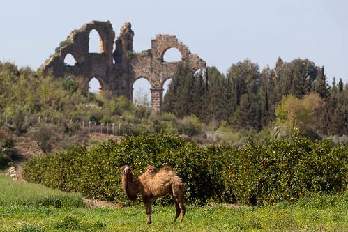 Kamel vor Wasserturm; copyright 2013
