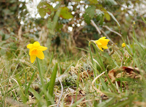 Tiny daffodils by Helen in Wales