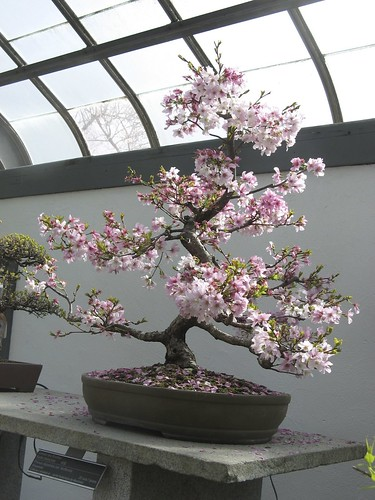 Bonsai Cherry Tree by susanvg