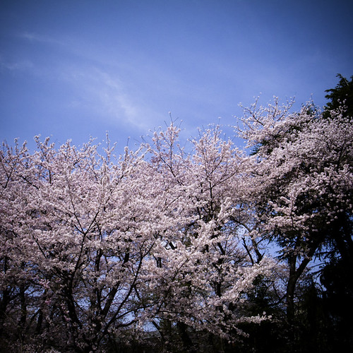 Sky Cherry Blossom Earth