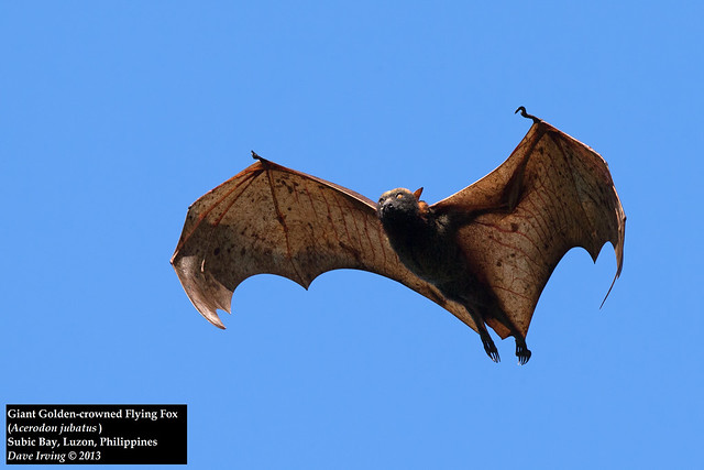 Giant Golden-crowned Flying Fox (Acerodon jubatus) | Flickr - Photo ...