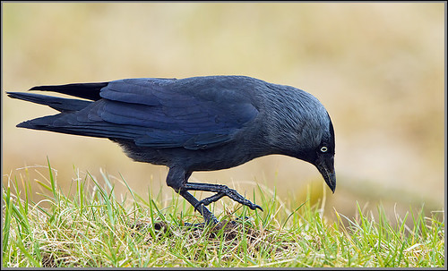 Jackdaw (Corvus monedula), Upton Warren Flashes, April 2013 by Warrener