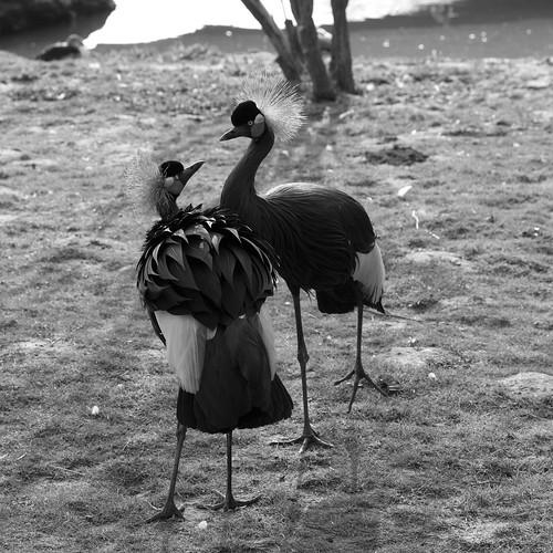 Parc de Beauval grue demoiselle oiseau