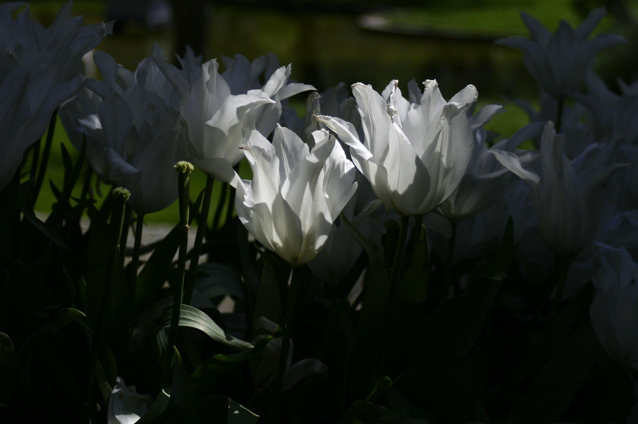 White flowers, Ihlamur Kasrı.