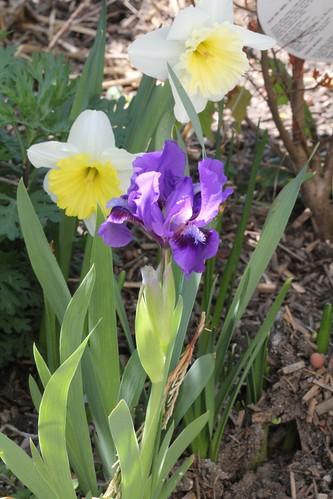 Iris - floraisons 2011 8665641407_abd80a75d8