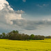 Canola field in bloom, Lawrence County, TN by JNickrand