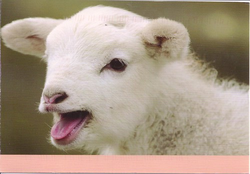 Sweet Baby Lamb Postcard