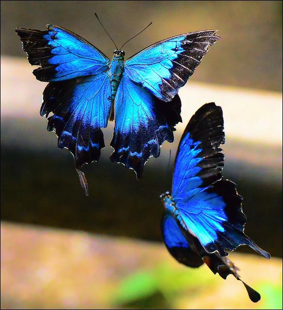 Ulysses Butterfly Ulysses Butterfly | Fl...