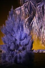 Infrared Australian Pine