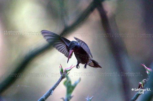 Colibrí - Huitziziqui - Hummingbird - Chiautla de Tapia - Puebla - México