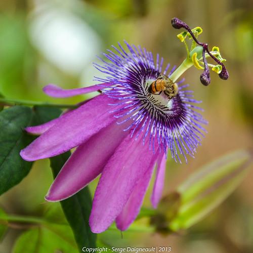 usa flower florida bee passiflora butterflyworld coconutcreek amethyststar nikkor1802000mmf3556 nikond5100 ©sergedaigneault