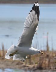 Sea Gull in flight 04-11-2012 135