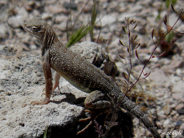 Small Lizard 2