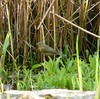 Wood Warbler (I think)