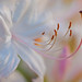 Dance of the Stamens by Shannonsong
