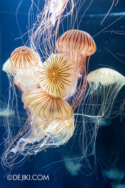 Marine Life Park Singapore - S.E.A. Aquarium - Sea nettle 2
