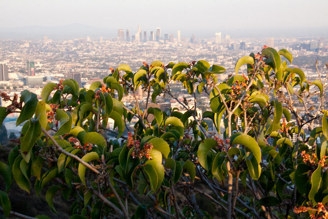 Bushes and Downtown Los Angeles - Runyon Canyon Park, LA
