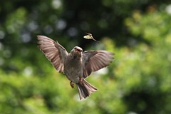 Sparrow catching Mayfly