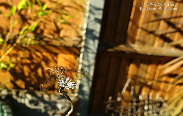 Dragonfly from RAW _DSC3019