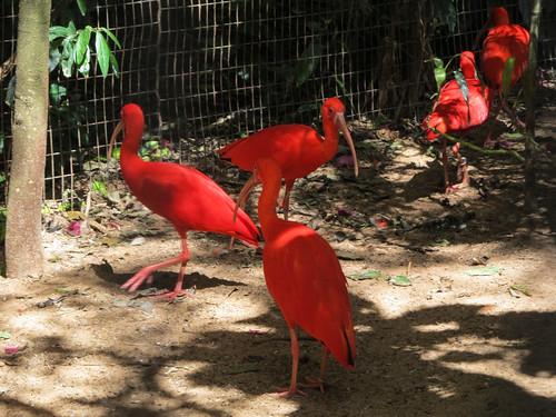 Le Parc des Oiseaux d'Iguaçu: des ibis
