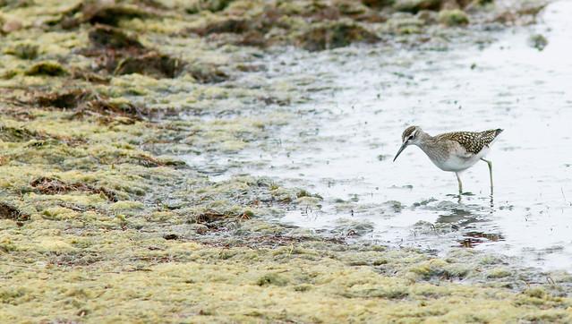 Juvenile Wood Sandpiper,Kilnsea Wetlands,East Yorkshire.