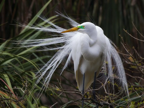 birds florida egret avian greategret shorebirds floridawildlife staugustineflorida wadingbirds alligatorfarm floridabirds avianexcellence staugustinealligatorfarm staugustinealligatorfarmrookery floridabirdrookery