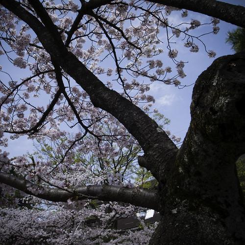 Skyward Cherry Blossom, Ichikawa 2013