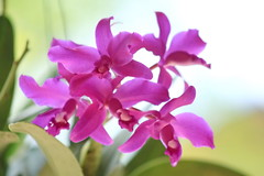 blossom(0.0), phalaenopsis equestris(0.0), cattleya labiata(1.0), flower(1.0), purple(1.0), orchid family(1.0), lilac(1.0), macro photography(1.0), flora(1.0), cattleya trianae(1.0), pink(1.0), petal(1.0),