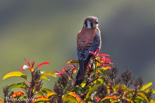 california canon ngc handheld americankestrel playadelrey falcosparverius ©allrightsreserved specanimal ballonawetlandsecologicalreserve ©patriciaware sunrays5