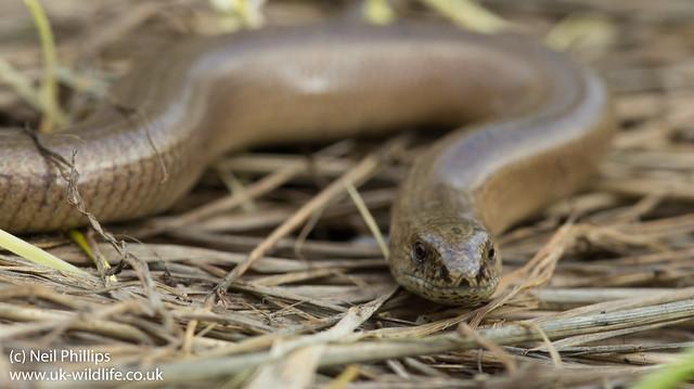 Slow worm Anguis fragilis-4