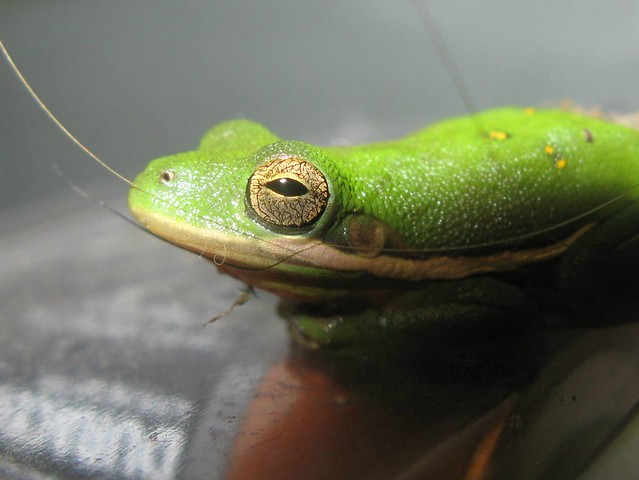 American Green Tree Frog-explored   Flickr - Photo Sharing!