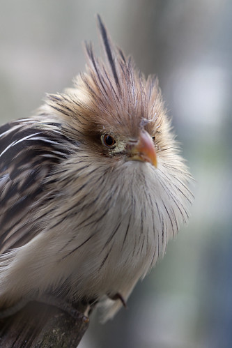 Guira Cantara oiseaux au parc de Beauval by Pierre-Eric Guisard
