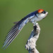 Wire-tailed Swallow by Duncan Blackburn