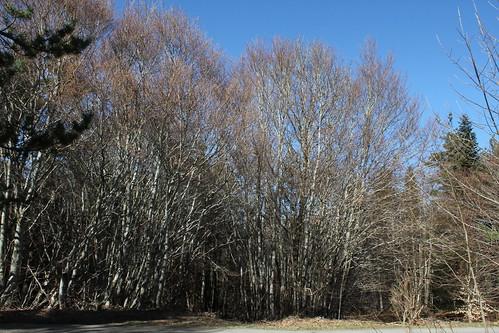 Hêtraie sapinière des Monts Breysse- 43 (18)