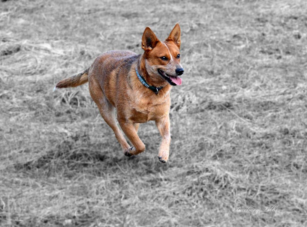 Red Heeler Puppies For Sale