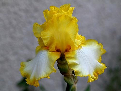 Iris - floraisons 2011 - Page 2 8667781126_fb795b015c