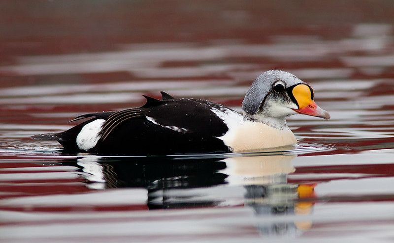 King Eider (semi-adult)