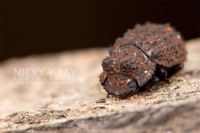 Darkling beetle (Tenebrionidae) - DSC_0871