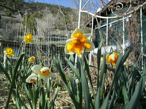 daffodils3 4.26.13