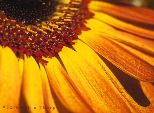 red/yellow daisy macro by Alida's Photos