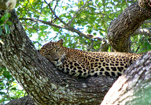A leopard in Yala