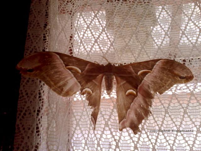 Butterfly at Rumah dinas Camat Kabandungan