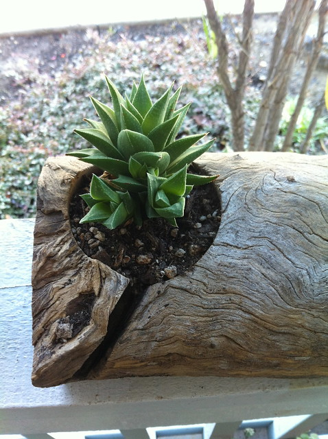 mom's succulent