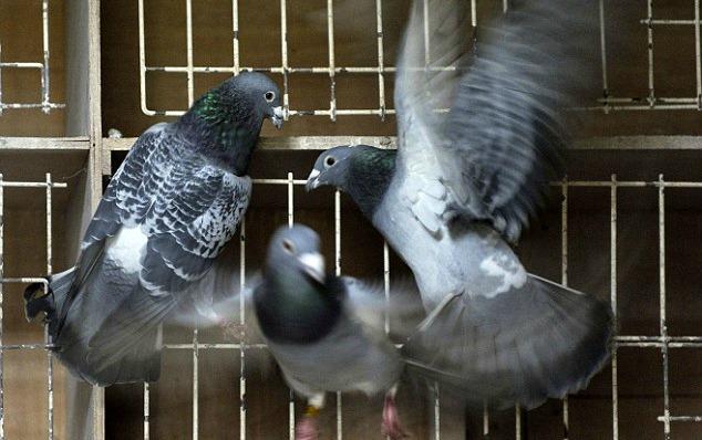 palomas-diarioecologia