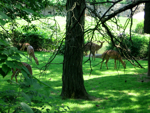 Nyala antelope by Coyoty