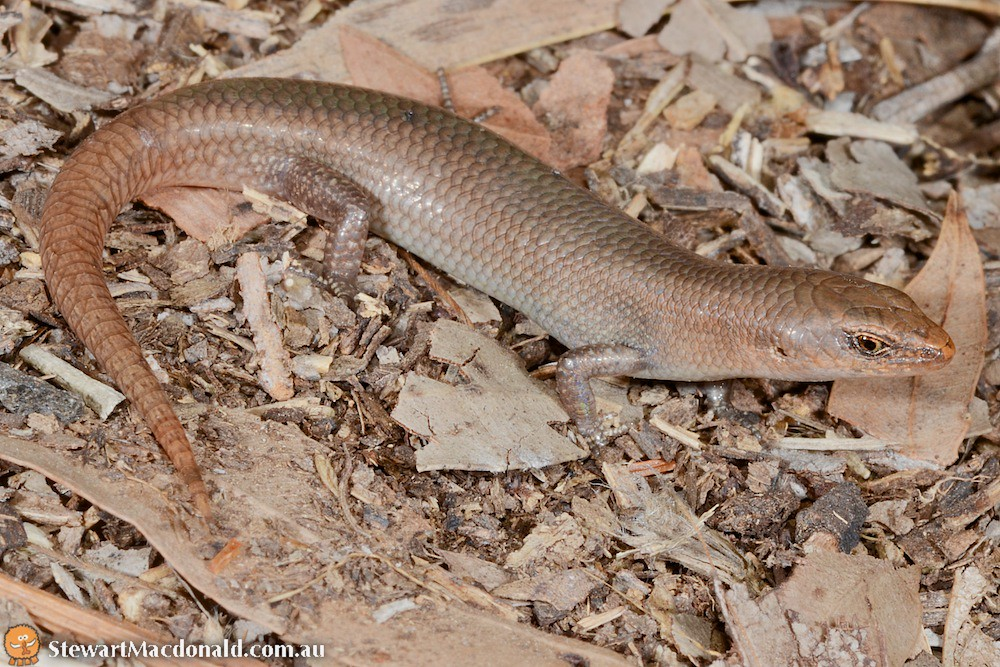 Endeavour River litter-skink (Lygisaurus tanneri)